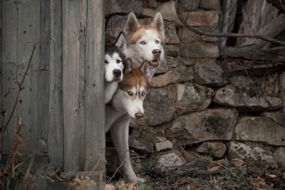 Чудище обло, озорно, огромно, стозевно и лаяй собаки хаски цербер