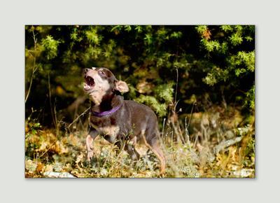 песнь маленькой собаки той-терьер в лесу на фоне можжевельника