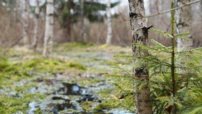 Я в весеннем лесу пил березовый сок Весна лес березы