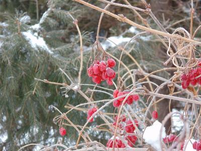 Зимние ягоды. зима ягоды снег холод мороз красный контраст макро