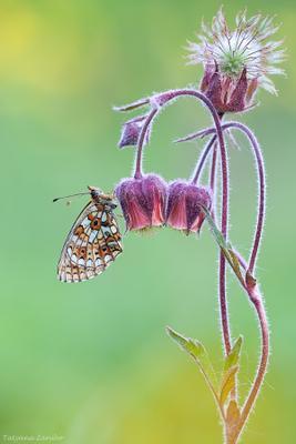 Вечерний звон tatyana zarubo, macro, wildlife, бабочка, Перламутровка селена, boloria selene, гравилат речной