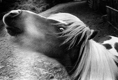 *** пони чб пленка орво Yashica CC лошадь портрет
