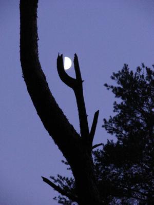 ***Месяц на дереве небо ночь луна месяц звезды дерево лес природа ветка крона