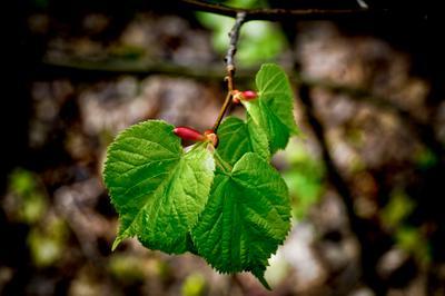 *** листья почки