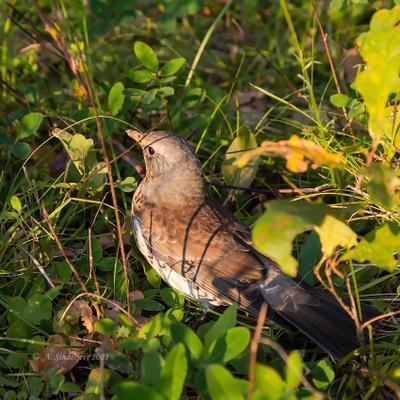 Дрозд рябинник птицы дрозд