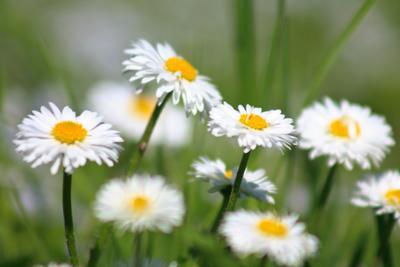 glade of daisy