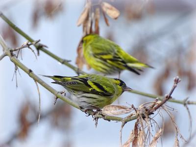 Чижи. природа фауна животные птицы