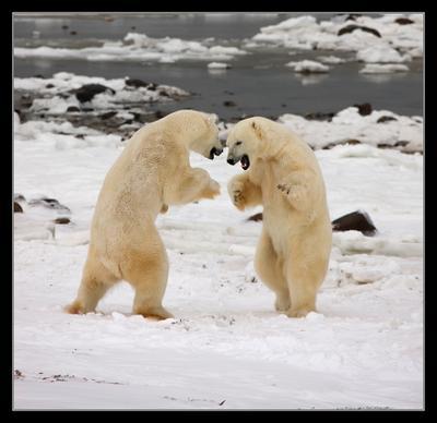 Поединок 2 Белый медведь Канада Churchill