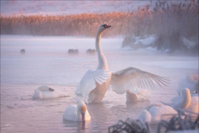 Утро на Лебедином озере .. Псков Изборск зима лебеди лебединое Словенские ключи Мальское озеро Городищенское Изборско-Мальская долина