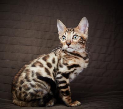 Бенгал кот котенок бенгальский тигр