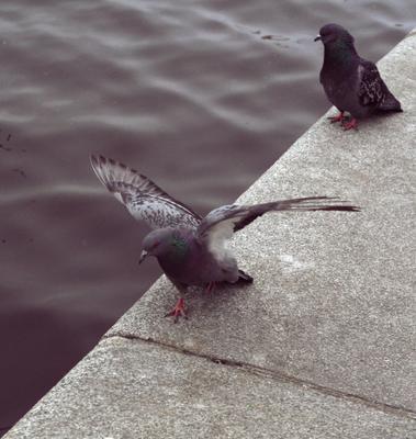 На берегу Смоленки голуби птицы