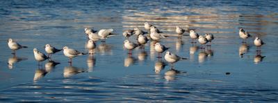 чайки на таящей льдине