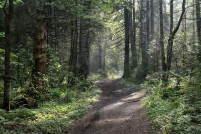 Утро в еловом лесу.......