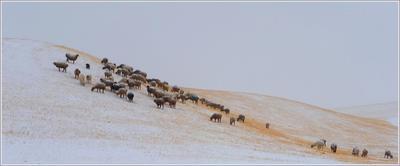 Сыплет снежная крупа... Кыргызстан отара