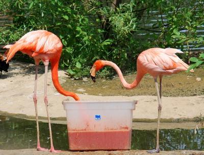 Отчего фламинго розовые... фламинго