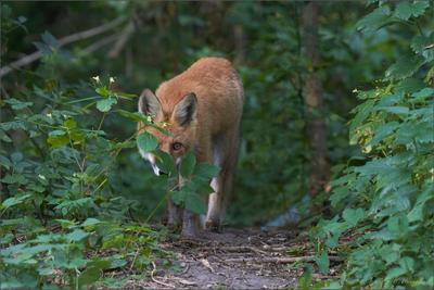 Подражающий фотоохотнику лис