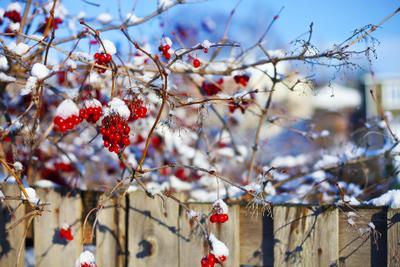 Зима пришла ягоды снег красный зима небо