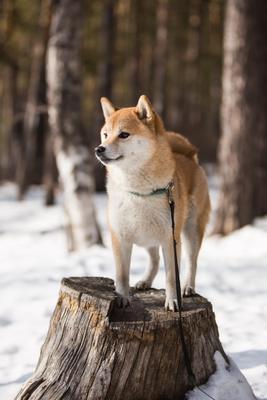 На подиуме собаки сиба ину шиба отдых зима природа