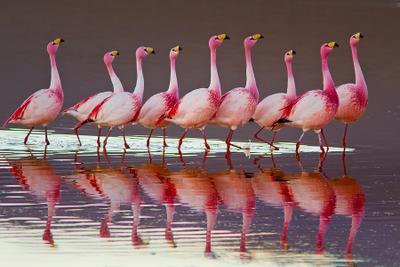 Слушай! Красавцы, да! Боливия фламинго