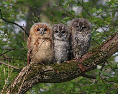 Взгляни на маленьких совят Серая неясыть Strix aluco Tawny owl