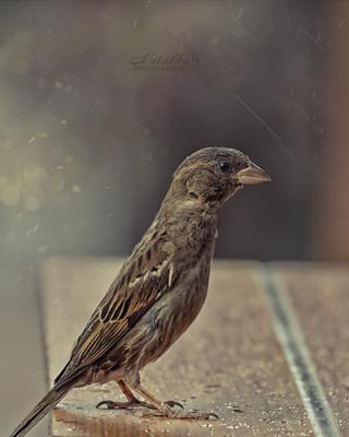 Воробей Воробей птица птицы пернатые город дождь
