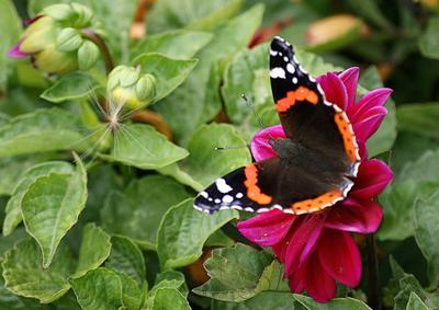 Георгина с адмиралом цветы георгин бабочка адмирал