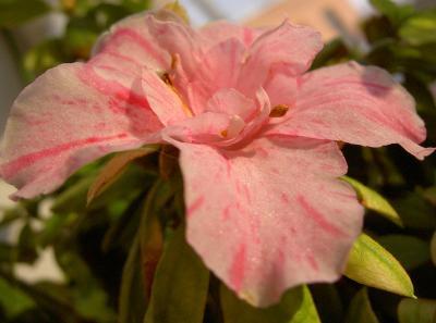 Сахарный цветок * * * С днем рождения! цветок