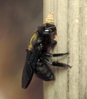Труженица пчела макро древесина