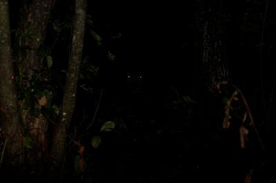 Лесной кошмарик. кабан дикая природа