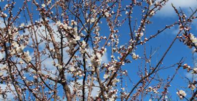 Абрикос цветет 01 Абрикос цветы весна апрель