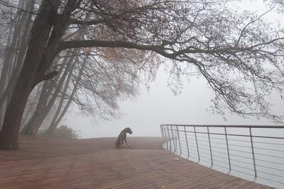 *** собака немецкий дог река осень туман