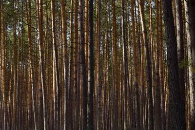 Сосновый бор леса Мордовии лес сосновый бор красная рамень природа