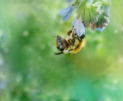 Цепкие коготки шмель цветок окопник лето