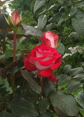 Роза 🌹 Роза