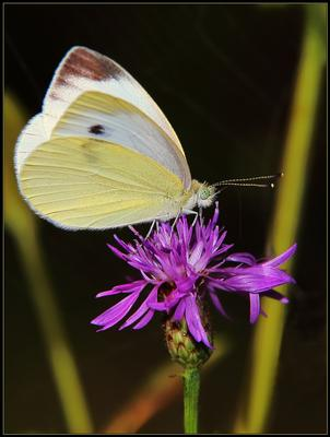 Капустница (Pieris brassicae L.)