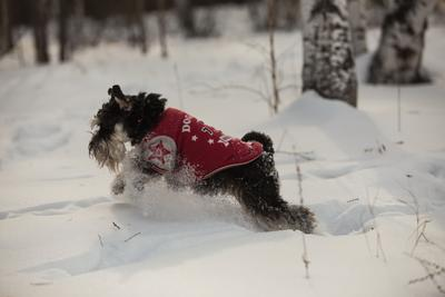 Прыжок собаки снег отдых цвергшнауцер цверги