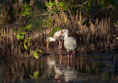 В мангровых зарослях животные птицы пернатые ибисы цапли