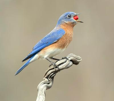 Аммм....Eastern Bluebird male - Восточная сиалия самец