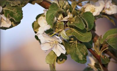 *** яблоня весна