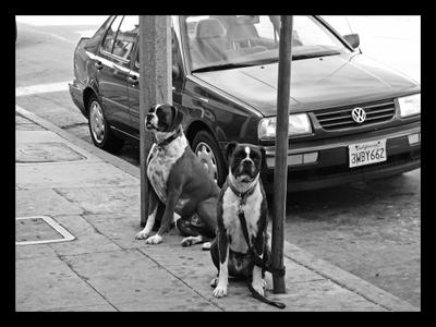 Vernost' dogs, USA, bulldog, fidelity