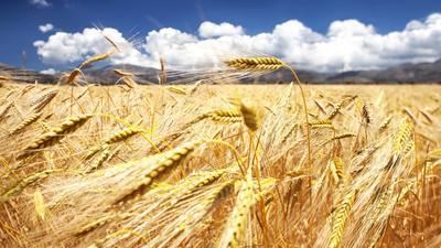 Золотое поле. Греция.