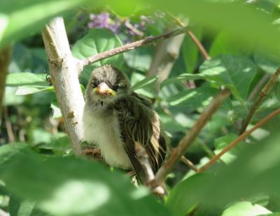 Желторотик птицы воробьи лето