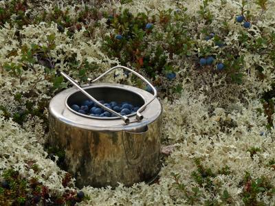 Хибинская голубика Хибины Кольский полуостров голубика чайник походный быт