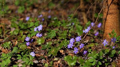 на солнечной полянке весна лес фиалки