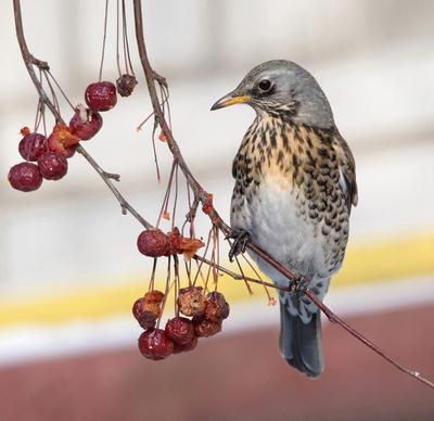 Где  мои  ягодки? птицы дрозд-рябинник