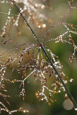 Природные драгоценности Утро, деревня, роса