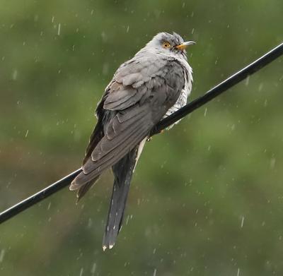 Кукушка под дождем кукушка птица