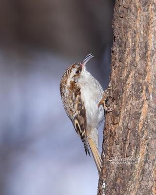 Пищуха - королева маскировки Пищуха птица птицы клюв лес зима весна снег