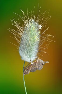 Prionosthenus galericulatus Prionosthenus galericulatus