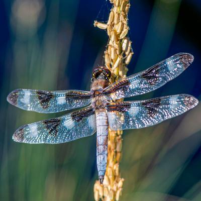 Канатоходец макро фотоохота стрекоза насекомые